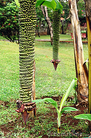 Indonesia, Java: Bunch of bananas on tree
