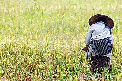 Indonesia, Java: Rice agriculture