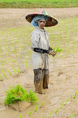 Indonesia, Rice-workers Editorial Stock Image