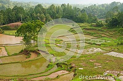 Indonesia, Sulawesi, Tana Toraja, Rice terraces