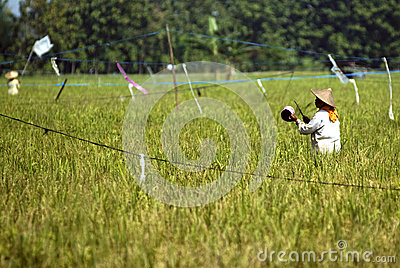INDONESIAN AGRICULTURAL DAILY LIFE Editorial Photo
