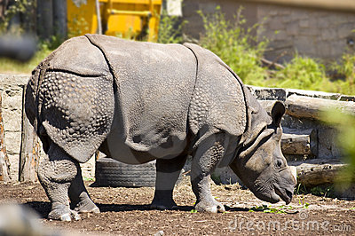 Indonesian Rhinoceros/Great One Horned Rhinoceros