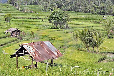 Indonesian ricefields