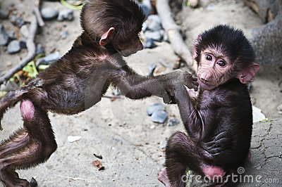 Infant/baby baboons
