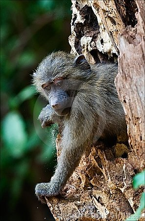 Free Infant Olive Baboon On The Tree. Stock Image - 16395971