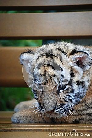Infant tiger
