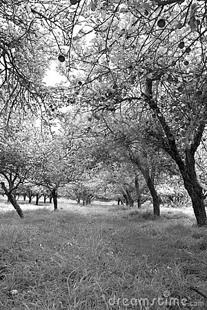 Infared view of an apple orchard and trees