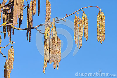Inflorescences of hazel