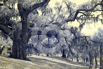 Infrared photo of live oaks and palms