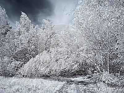 Infrared photograph. Birch