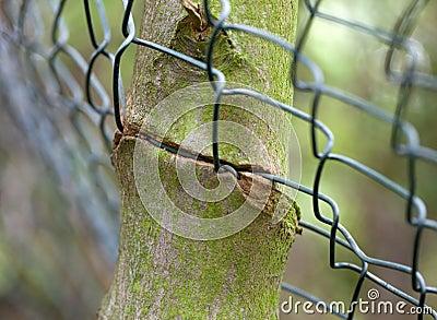 Ingrown fence