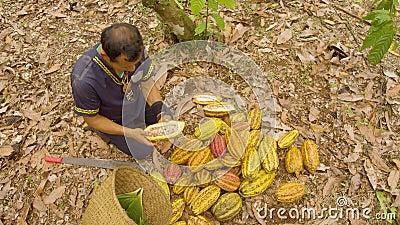 Inheemse arbeiders die cacao snijden en de bonen bovenaan oogsten stock footage
