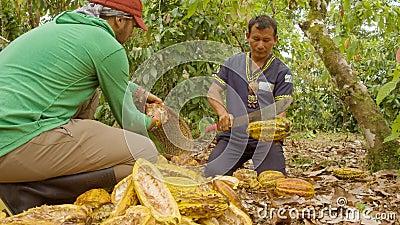 Inheemse man en werknemers die cacao kappen en de bonen oogsten stock footage