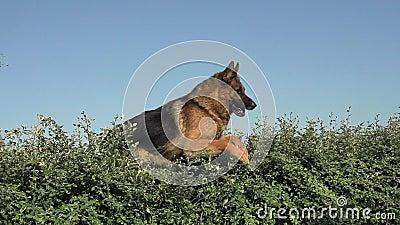 Inhemsk hund, tysk herde Dog, ovannämnd kant för manlig banhoppning, Normandie,