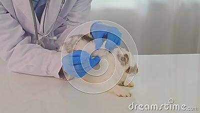 Injecteer een geneesmiddel of een chemische stof in een wit bruin konijn en blijf op witte tafel in de kliniek stock footage