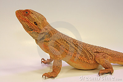 Inland Bearded Dragon (Pagona vitticeps)