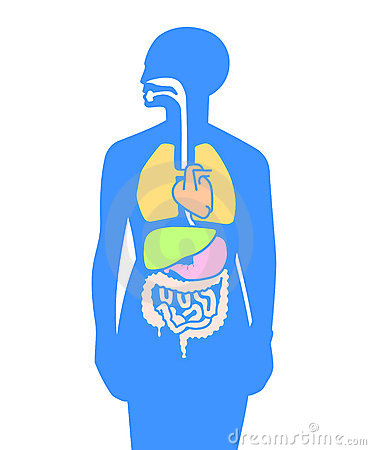 Inner organs human body