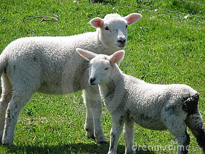 Innocent Lambs