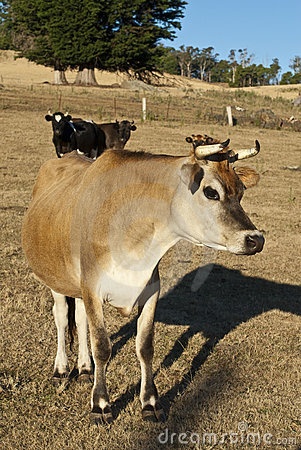 Inquisitive dairy cow