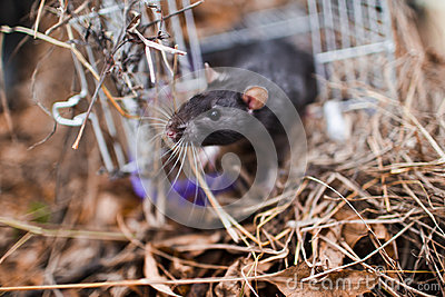 Inquisitive glance rodent