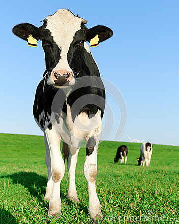 Free Inquisitive Holstein Frisian Cow Stock Photos - 26193433