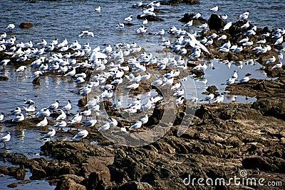 Insamling av seagullen
