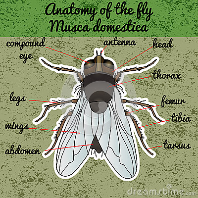 Free Insect Anatomy. Sticker Fly. Musca Domestica.. Insect. A Realistic Fly. Fly Silhouette. Fly Design For Coloring Book.  Stock Photos - 64004143
