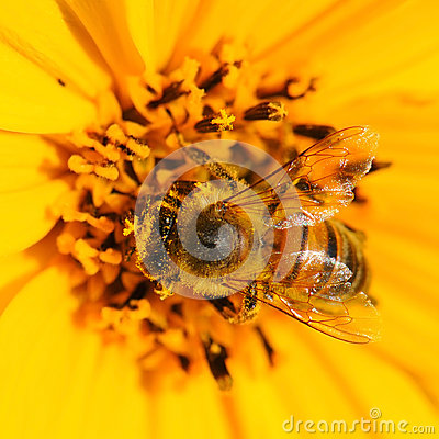 Insect bee pollinating flower