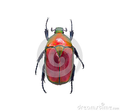 Free Insect Beetle, Or Bug On White Stock Photography - 58589512