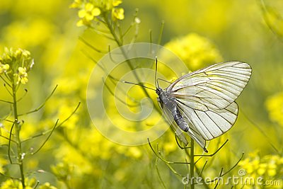 Insect butterfly wings