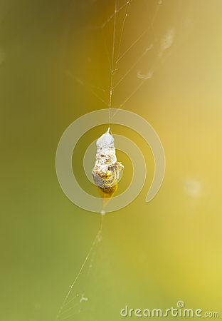 Insect captured by a spider web