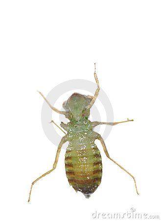 Free Insect Dragonfly Larva Royalty Free Stock Image - 12790806