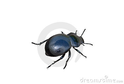Insect dung beetle