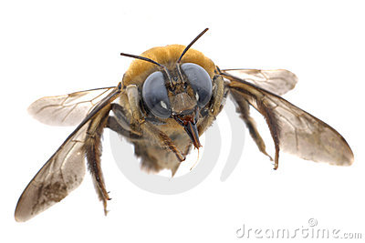 Insect humble bee