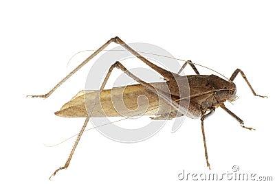 Insect katydid