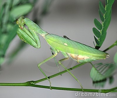 Insect mantis