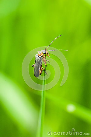 Free Insect Portrait Soldier Beetle Royalty Free Stock Images - 54450049