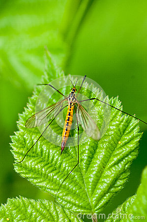 Free Insect Portrait Spotted Crane-fly At Rest Royalty Free Stock Image - 50142356
