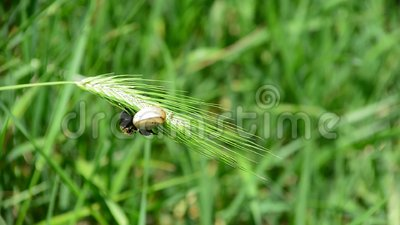 Insect and snail are trying to stay on leaf stock footage