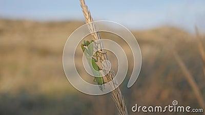 Insectes dans leur habitat naturel Une mante en prière est assise sur une inflorescence matoire clips vidéos