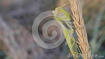 Insectes dans leur habitat naturel Une mante en prière est assise sur une inflorescence mature L'animal nettoie ses membres banque de vidéos