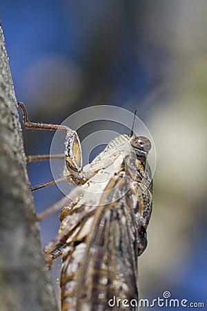 Insecto de la cigarra