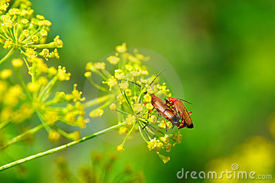 Insects copulating