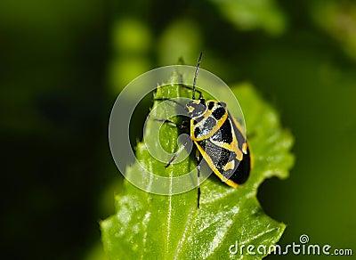 Insects, pentatomidae
