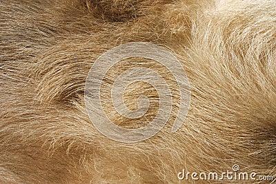 Insegua la pelliccia