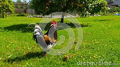 inseguendo il pollo drizzi seguire corrente all'aperto e divertente archivi video