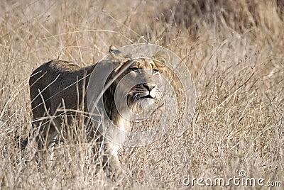 Inseguimento del leone