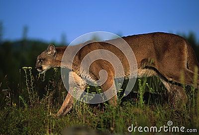 Inseguimento della preda della montagna del leone