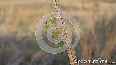Insekten in ihrem natürlichen Lebensraum Eine Gottesanbeterin sitzt auf einer Reifung Tierbürste ihren Schnurrbart stock footage