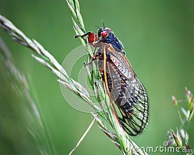 Insetto della cicala su erba verde con gli occhi rossi